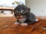 reinrassige Maine Coons Kitten mit