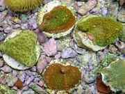 Korallenableger-Meerwasser- Montipora hoffmeisteri rainbow und
