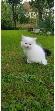 Neva Masquarade Perser Mix Katze