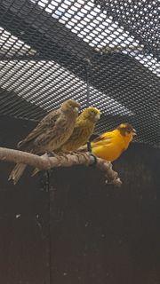 Kanarienvogel lizard