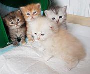 Sibirische Katzenkinder von Sibirientaigas