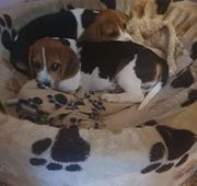 Beagle Welpen Rüder