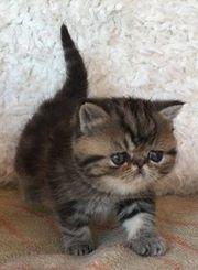 Reinrassiges Exotic Shorthair kitten