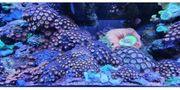 Meerwasser Korallenableger SPS LPS Zoa