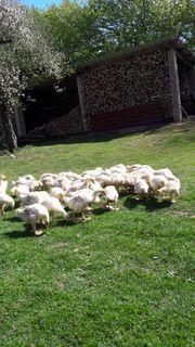 Geflügelhandel Frensenmeier Hofgeismar