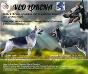 Osteuropäischer Schäferhund VEO OES