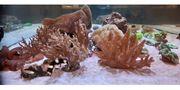 Meerwasser Weichkorallen