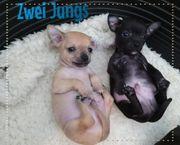 Wunderschöne reinrassige kurzhaar Chihuahua Welpen