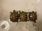 Griechische Landschildkröte Thherc später zur