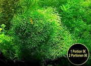 Sternlebermoos Aquarienpflanzen Versand