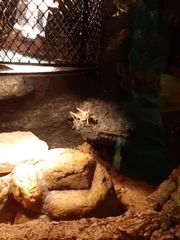 große Wüstenheuschrecken als Futtertiere ca