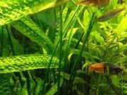 Cryptocoryne Aponogetifolia - Hammerschlag Wasserkelch - Barschpflanze