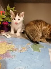 Bkh mix Kitten verkaufen