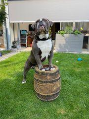 Deckrüde Old English Bulldogge