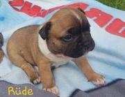 Welpen Französische Bulldoggen Isabella Tan