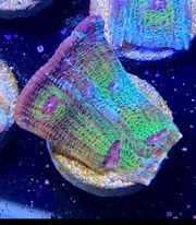 Chalice Avatar Meerwasser Korallen Lps