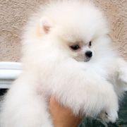 Wunderschöne Pomeranian Zwergspitz Welpen