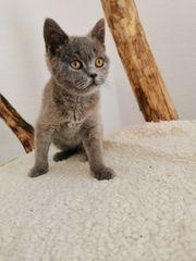 bkh Kitten abholbereit