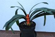 Clivia Riemenblatt Liebespflanze Jungpflanze