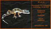 Süße Leopardgecko Mädels von 2020
