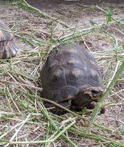 Schildkröten - Bestandsauflösung Sulcata Radiata Elongata