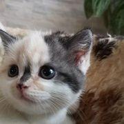 Dreifarbige BKH Katze und Geschwiester