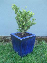 Buchsbaum winterhart 6-8 Jahre in