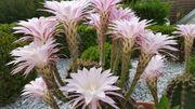 jungen Echinopsis Kaktus