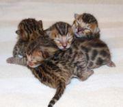 Bengal Kätzchen suchen ein liebevolles