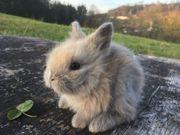 Wunderschöne reinrassige Teddyzwerge Kaninchen Babys