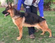 Junger Schäferhundrüde sucht liebevolle Familie
