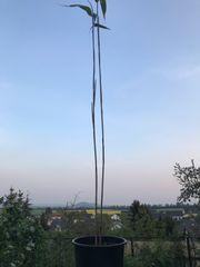 Bambus-Ableger