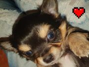 Langhaar Chihuahua Welpen Boys 1