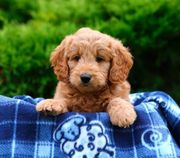Familie aufgezogen Miniatur Goldendoodle Welpen