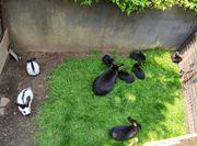 Kaninchen Riesenschecken