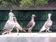 Haustauben Tauben