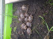 Breitrand-Schildkröten NZ2020