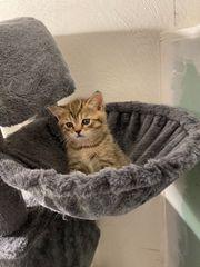 BKH Kitten Britisch Kurzhaar Babys