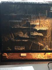 Leoparden Geckos Komplett Set