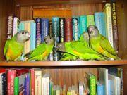 Papageien Handaufzucht