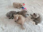 Reinrassige BKH Kitten Katzenbabys Kätzchen