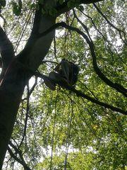 Fachmännische Totholzentnahme mit Seilklettertechnik und