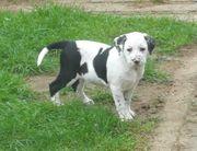 Dalmatiner Grosser Schweizer Sennenhund