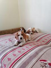 Beagle welpen