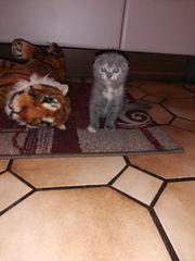 Bkh Scottish Foold Kitten abgabebereit