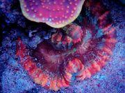 Trachyphyllia Rainbow Meerwasser