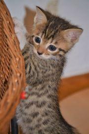 Mix Kitten Bengalmix Bengalmischling