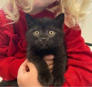 Britisch Kurzhaar Kitten BKH