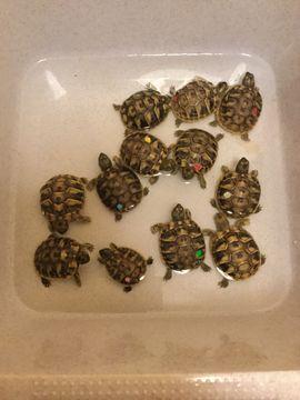griechische Schildkröte auch Tausch gegen: Kleinanzeigen aus Garbsen Berenbostel - Rubrik Reptilien, Terraristik