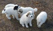 Pyrenäenberghund-Welpen Herdenschutzhund